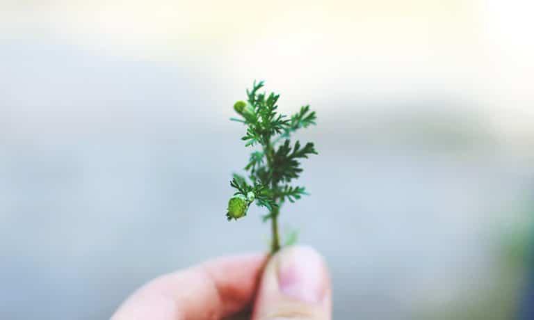 Person holder en liten grønn kvist
